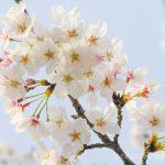 どうして桜が好きなの?