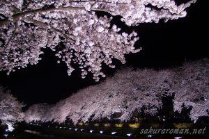 野川の桜ライトアップ12