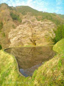 駒つなぎの桜-長野県阿智村1