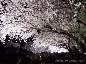 野川の桜ライトアップ4-2