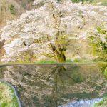 長野県阿智村にある名桜、源義経由来の「駒つなぎの桜」