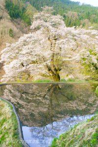 駒つなぎの桜-長野県阿智村3