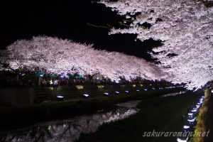 野川の桜ライトアップ4-4