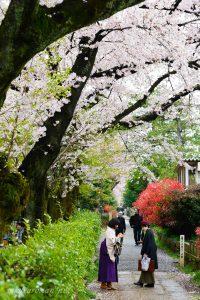 染井霊園の桜8