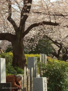 染井霊園の桜と墓参り