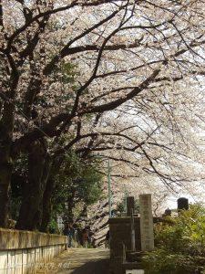 染井霊園の桜10
