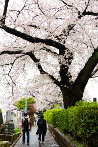 染井霊園の桜5