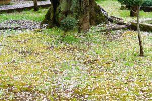 染井霊園の桜9