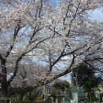 ソメイヨシノ(染井吉野)発祥の地、旧染井村(現:駒込周辺)の桜