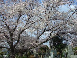 染井霊園の桜12