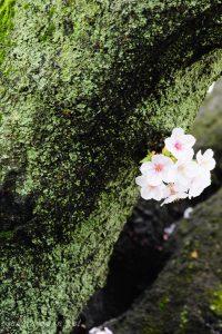 染井霊園の桜7