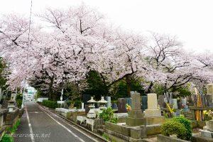 染井霊園の桜4