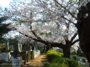 染井霊園の桜11
