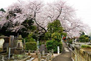 染井霊園の桜3