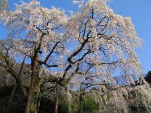 長興山紹太寺のしだれ桜3