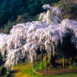 神奈川県一の名桜 小田原市入生田にある「長興山紹太寺のしだれ桜」