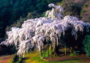 長興山紹太寺のしだれ桜4