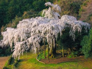 長興山紹太寺のしだれ桜1